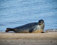 Seal on a beach next to the sea shore Royalty Free Stock Photo