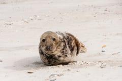 Seal on the Beach Stock Photos
