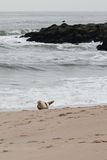 Seal on the Beach Stock Photo