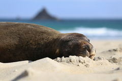 Seal on the beach. Seal sleeping on the beach in New Zealand Royalty Free Stock Photos