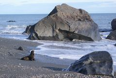 Seal on beach. A small brown furry seal reaches the waves of the ocean amidst large boulders Royalty Free Stock Image
