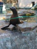 Seal Royalty Free Stock Photo