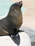 Seal begging for food Royalty Free Stock Image