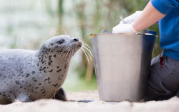 Seal being fed royalty free stock images