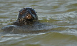 Seal at Blakeney Point Norfolk Royalty Free Stock Photography