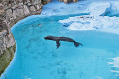 Seal in the blue water 4 Royalty Free Stock Photo