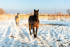 Seal Brown and Buckskin Horse Winter royalty free stock photo