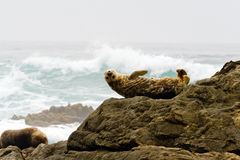 Seal on the California Coast. Seal with upside down smile poses on the rocks by the ocean Royalty Free Stock Images