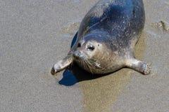 Seal in California Royalty Free Stock Photos