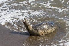 Seal in California Stock Photos