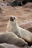 Seal at Cape Cross - Namibia Royalty Free Stock Photography