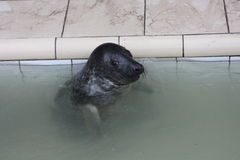 Seal in Captivity Stock Photo