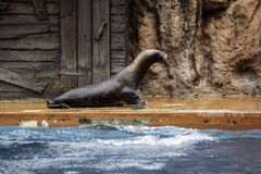 Seal in captivity stock images