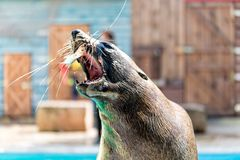 Seal catches fish with the mouth Royalty Free Stock Photography