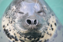 The seal. Chinas dalian tiger beach seals Royalty Free Stock Images