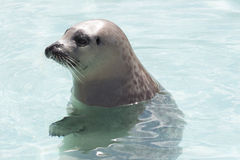 Seal in Clear Blue Water Royalty Free Stock Images