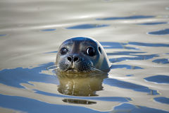 Seal close up stock photo