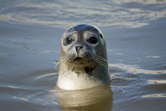Seal close up Royalty Free Stock Images