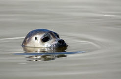 Seal close up Stock Photos