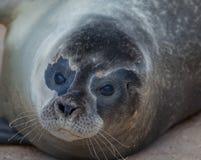 Seal close up Stock Image