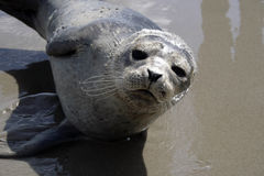 Seal close up Royalty Free Stock Photos