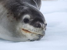 Seal Close-up Stock Photography