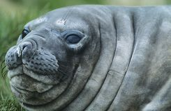 Seal close-up of head Stock Photo