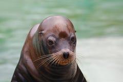 Seal Closeup Stock Photo