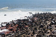 Seal Colony. Big seal colony at Cape Cross royalty free stock images