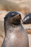 Seal Colony Royalty Free Stock Photos