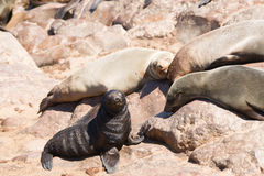 Seal Colony Stock Images