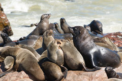 Seal Colony. Big seal colony at Cape Cross stock photography