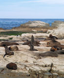 Seal colony Royalty Free Stock Photography
