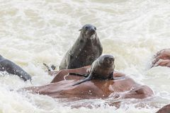 The seal colony at Cape Cross, on the atlantic coast of Namibia, Africa. View on the shoreline and the rough waving ocean. Stock Photography