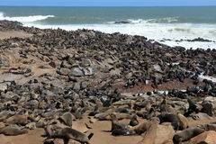 Seal colony at Cape Cross in Namibia Stock Photo