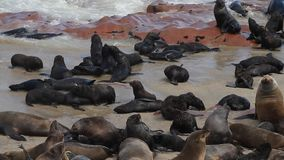 Seal colony at Cape Cross. Namibia, Africa stock footage