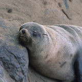 The seal colony at Cape Cross in Namibia Royalty Free Stock Photography
