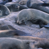 The seal colony at Cape Cross in Namibia Royalty Free Stock Photos