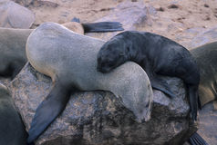 The seal colony at Cape Cross in Namibia Royalty Free Stock Images