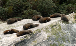 Seal colony. In Miford Sound, New Zealand royalty free stock photos