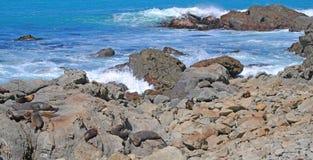 Seal Colony - Panorama Royalty Free Stock Photo