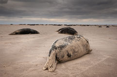 Seal Colony. A small group of four young bull Grey Seals resting on the edge of the main colony Royalty Free Stock Images