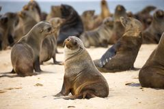 Seal Colony at Walvis Bay. Baby Seal colony at Walvis Bay beach on a summer day royalty free stock images