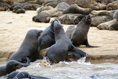 Seal colony Walvisbay Royalty Free Stock Photos
