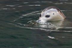 Seal comes up Stock Photos
