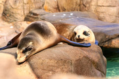 Seal couple Royalty Free Stock Image