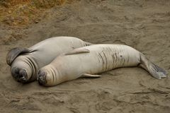 Seal Couple. These are Elephant seals (young ones), they look like a couple lying there together though they probably aren't. Taken somewhere along the Big Sur Stock Images