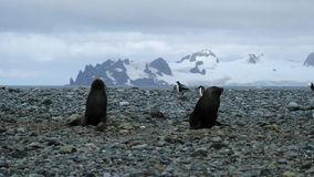 The seal crawls to two seals on the beach. Andreev. The seal crawls to two seals on the beach. Mountain covered with snow in the background. A flock of penguins stock footage
