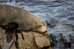 Seal Crying, Lonely Day At Ocean royalty free stock photography