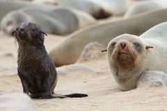 Seal cub with mother Royalty Free Stock Photos
